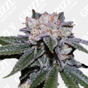 Blueberry Shortcake Auto Feminized Seeds