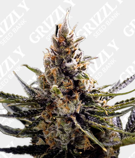 24K Gold Feminized Seeds