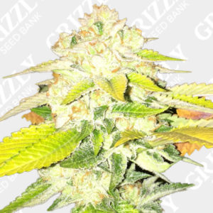 Double Banana Sherbet Feminized Seeds