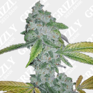 El Chapo Feminized Seeds