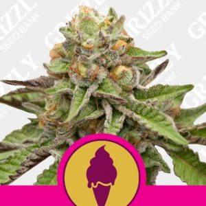 Green Gelato feminized seeds