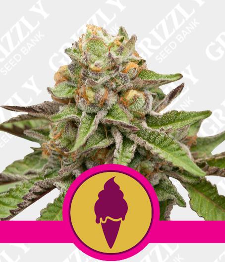 Green Gelato feminized seeds