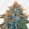 kosher kush feminized seeds
