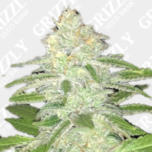 Lemon Sherbert Feminized Seeds
