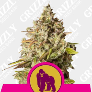 Royal Gorilla feminized seeds
