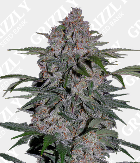Strawberry Nuggets Auto Feminized Seeds