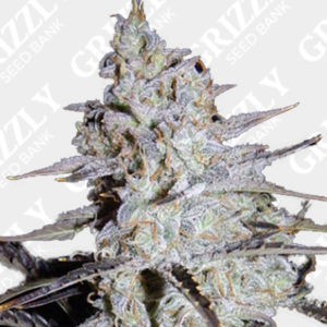 sour stomper auto feminized seeds