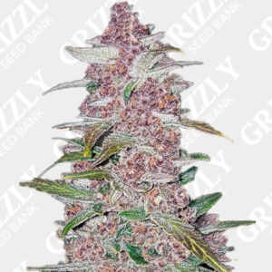 Blackberry Auto feminized seeds