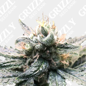 Blue Fire OG Feminized Seeds