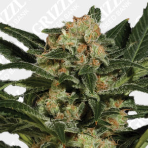 Candy Kush Auto Feminized Seeds