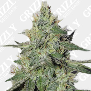 Chemdogging auto feminized seeds