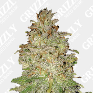 Chocolate Orange Auto Feminized Seeds