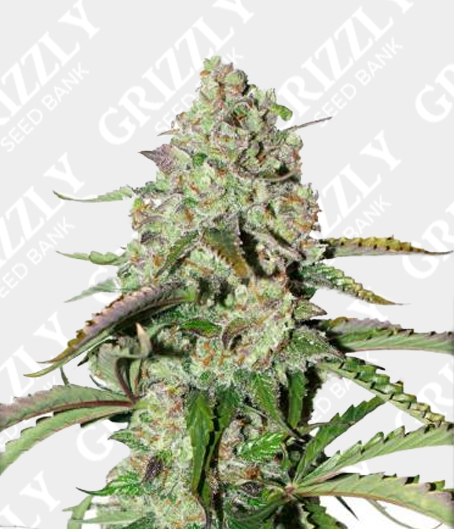 Auto Colorado Cookies feminized seeds