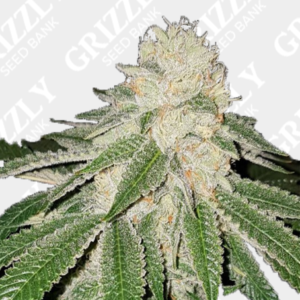 Currylato Feminized Seeds