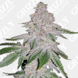 Fresh Orange Feminized Seeds