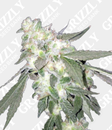 Fruit Tree Feminized Seeds