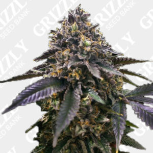 Gelato 33 x French Cookies Feminized Seeds