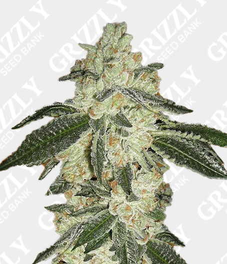 Green Crack Auto feminized seeds