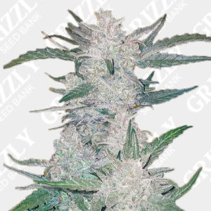 Mexican Airlines Auto Feminized Seeds