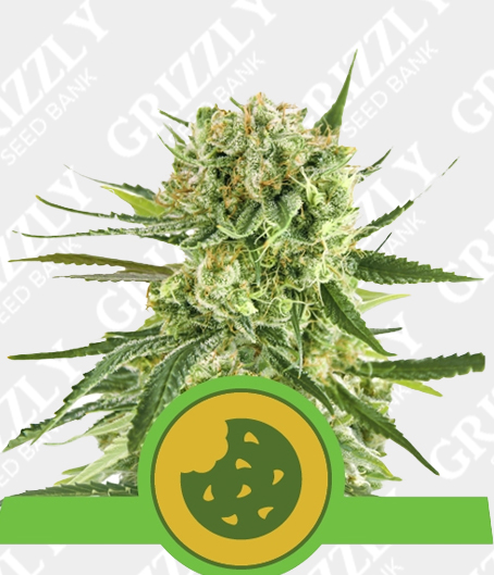 Royal Cookies Automatic seeds