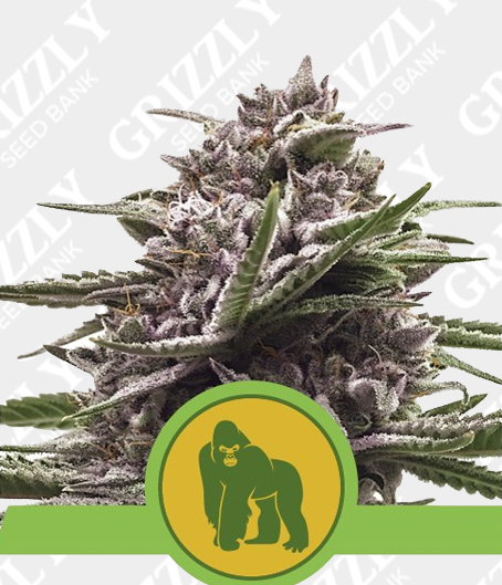 Royal Gorilla Automatic seeds