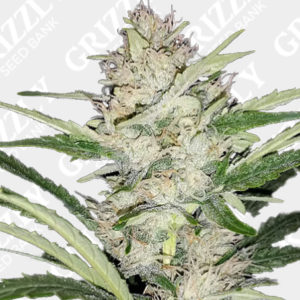 Skywalker auto feminized seeds