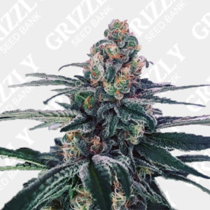Sour Cup Cookies Feminized Seeds