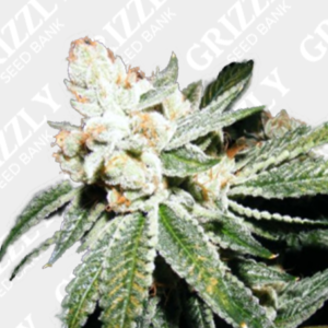 Sour Orange Auto Feminized Seeds