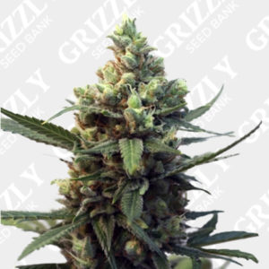 Toxic feminized seeds