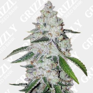 West Coast OG auto feminized seeds