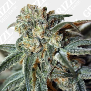 Zombie Kush Feminized seeds