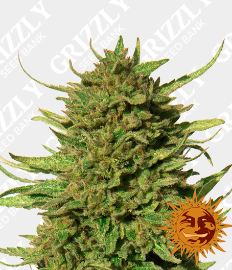 critical kush feminized seeds