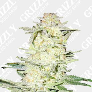 Lemonaid Feminized Seeds