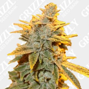 Strawberry Glue Feminized Seeds
