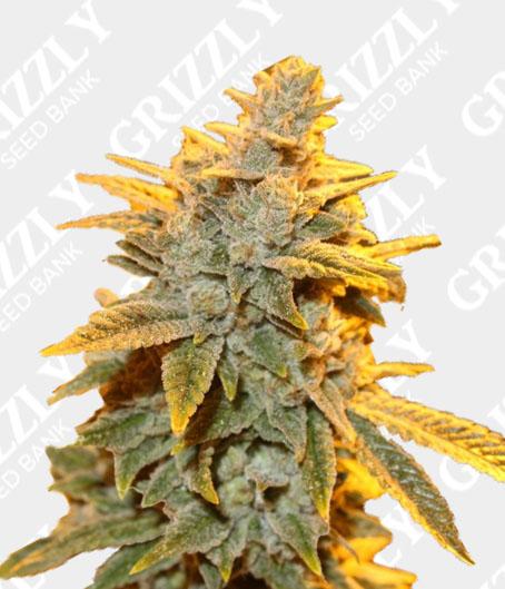 Strawberry Glue Feminized Seeds