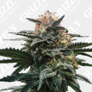 Blood Orange Sorbet Feminized Seeds