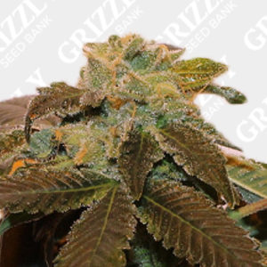 Pink Panties Feminized Seeds