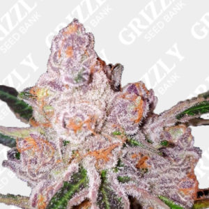Purple Sunset Feminized Seeds