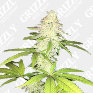 Simple Wedding Cake S1 Feminized Seeds