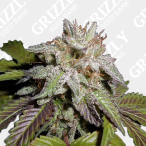 Sherbet S1 Feminized Seeds
