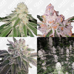 Sunset Sherbet Lineage Feminized Seeds Pack