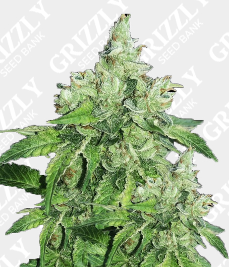 Citron Givre Feminized Seeds