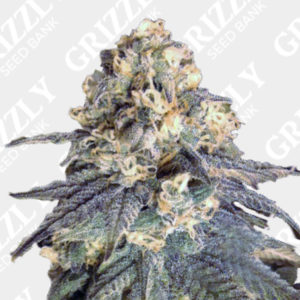 Mint Milano Feminized Seeds