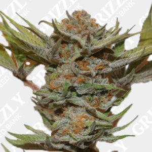 Purple Fondue Feminized Seeds
