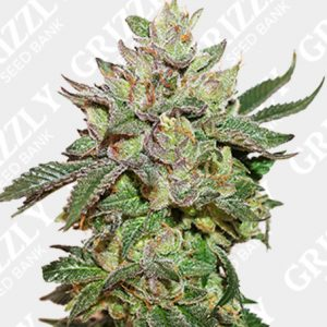 Wedding Cake Feminized Seeds