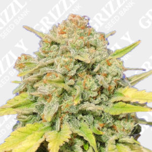 Zkittlez Feminized Seeds