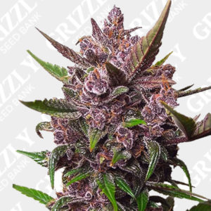Auto Blackberry Kush Seeds