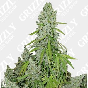 Auto Ultimate Feminized Seeds