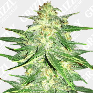 Lemon AK Auto Feminized Seeds