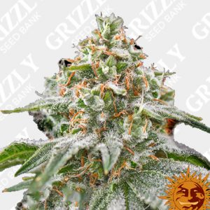 Pink Kush Feminized Seeds
